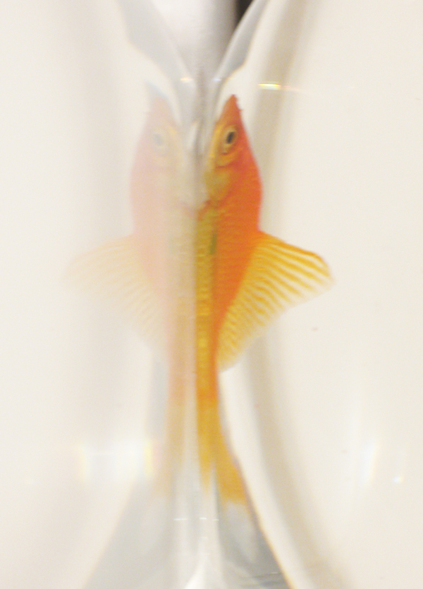 Fish Schnitzelim